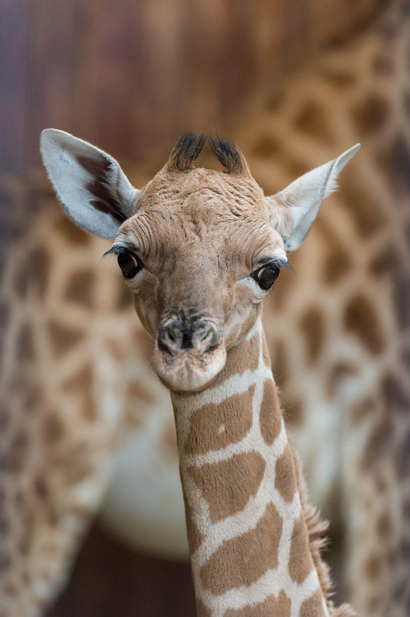 Kordofan_giraffe_majengo_mutter_sophie_ZOB0584