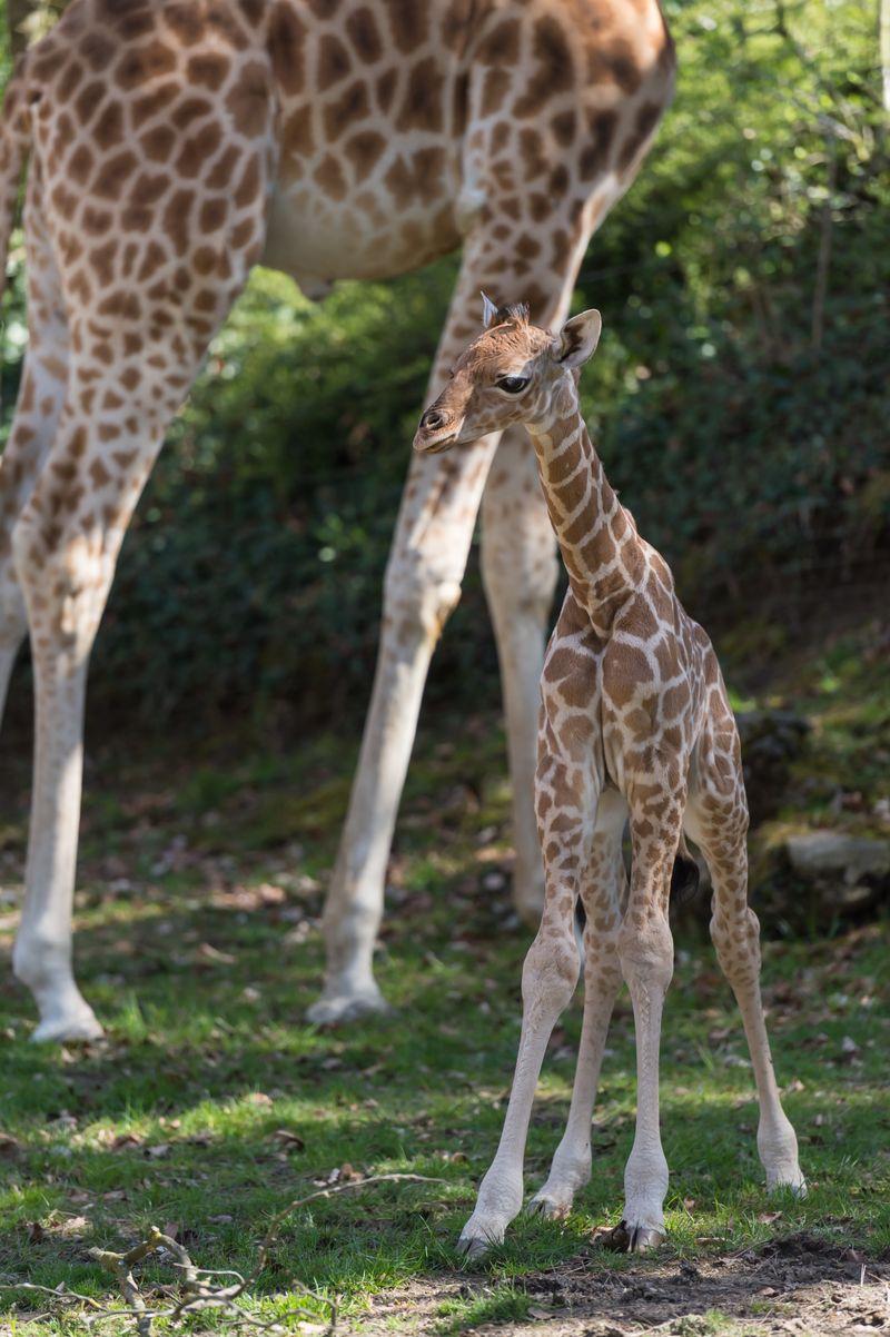 Kordofan_giraffe_majengo_vater_xamburu_ZOB0972