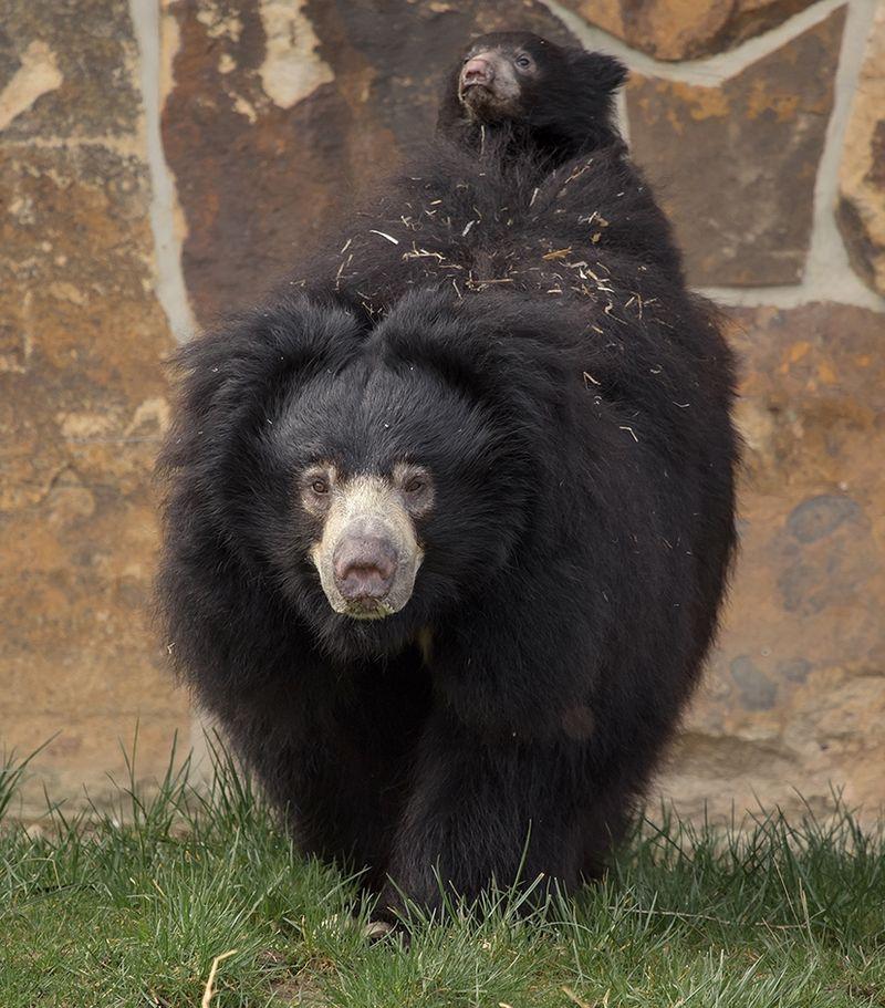 7 News Denver Zoo: Sloth Bear