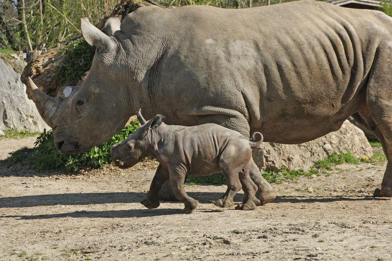 ZooSalzburg_Rhino_4