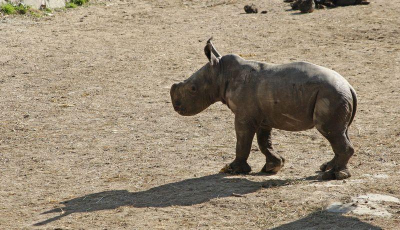 ZooSalzburg_Rhino_1