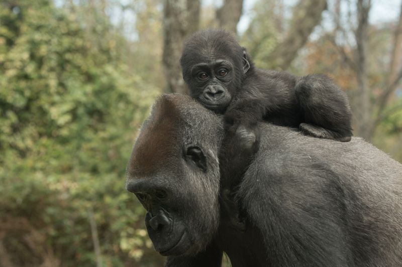 Julie Larsen Maher_7484_Western Lowland Gorillas  Tuti and Babies_CON_BZ_04 13 15
