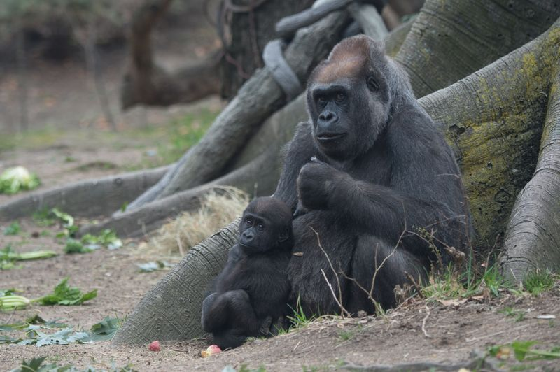 Julie Larsen Maher_7830_Western Lowland Gorillas and Babies_CON_BZ_04 14 15