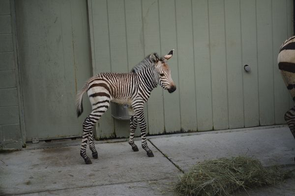 New Birth Has Virginia Zoo Seeing Stripes