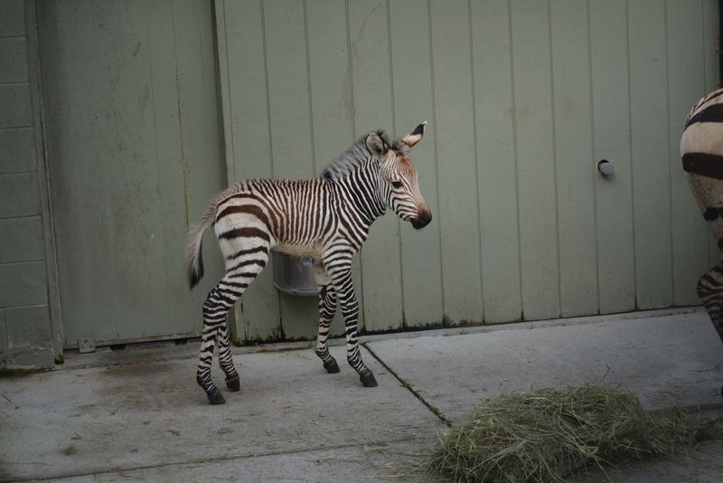 ZebraFoal_virginia Zoo3