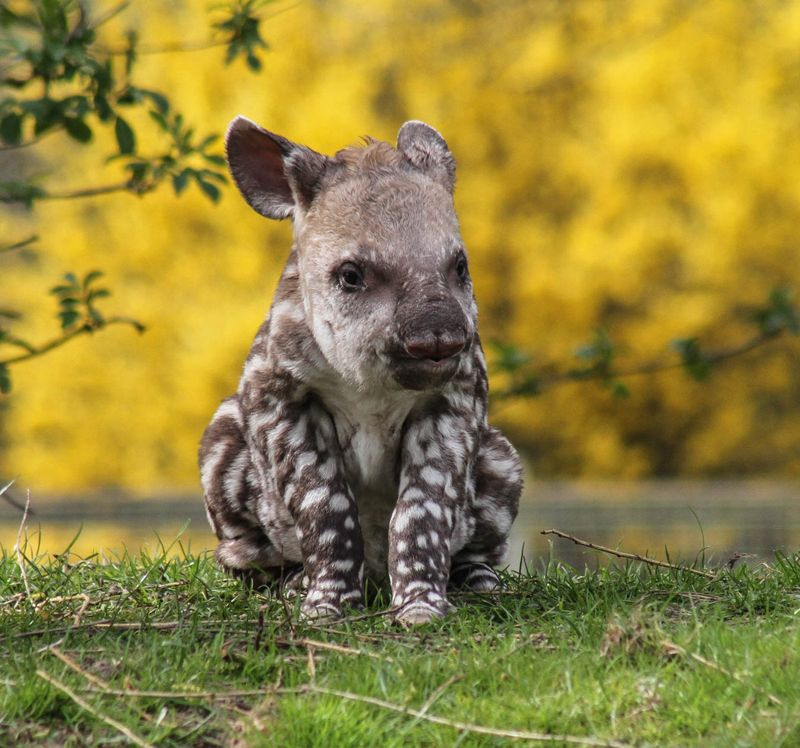 Brazilian Tapir calf photographed at 36 hours old born at Linton Zoo on 11.04.15 with mum Tiana (8)