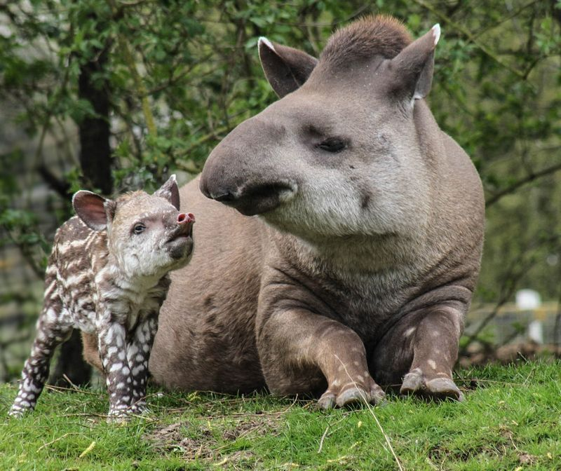 Brazilian Tapir calf photographed at 36 hours old born at Linton Zoo on 11.04.15 with mum Tiana (7)