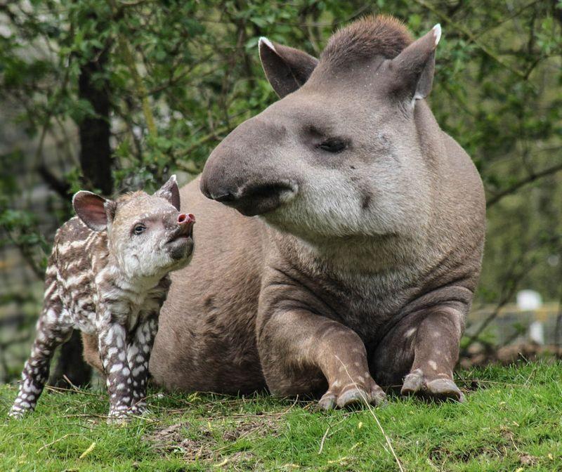Brazilian Tapir calf photographed at 36 hours old born at Linton Zoo on 11.04.15 with mum Tiana (7)
