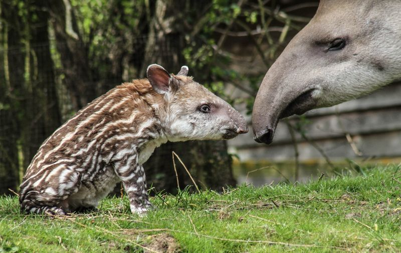 Brazilian Tapir calf photographed at 36 hours old born at Linton Zoo on 11.04.15 with mum Tiana (2)