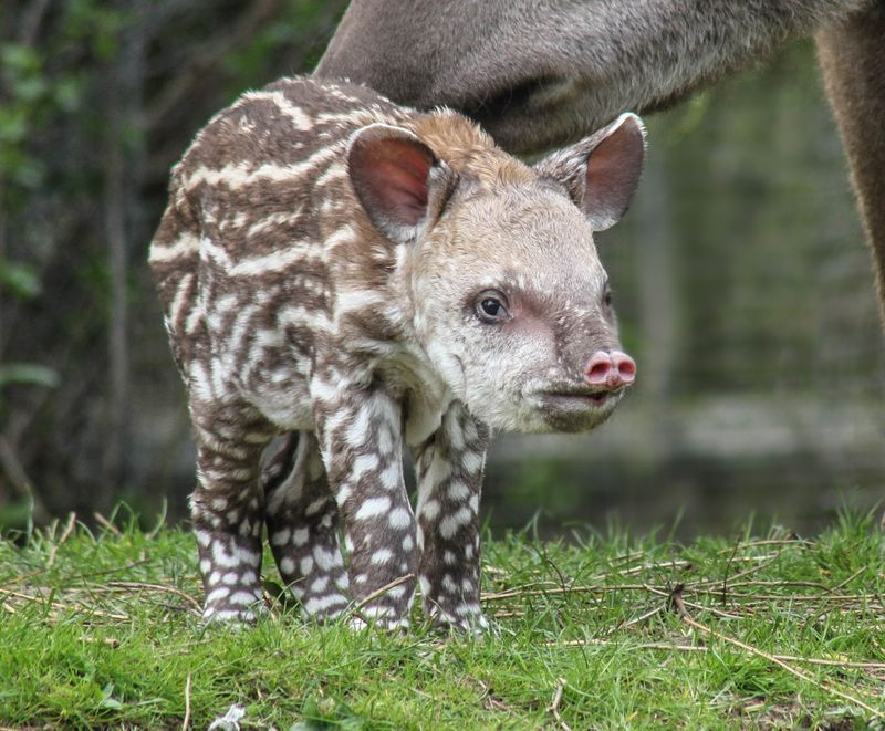 Brazilian Tapir calf photographed at 36 hours old born at Linton Zoo on 11.04.15 with mum Tiana (11)