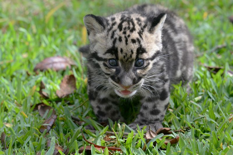 Asia clouded leopard cub 8 apr 17 2015