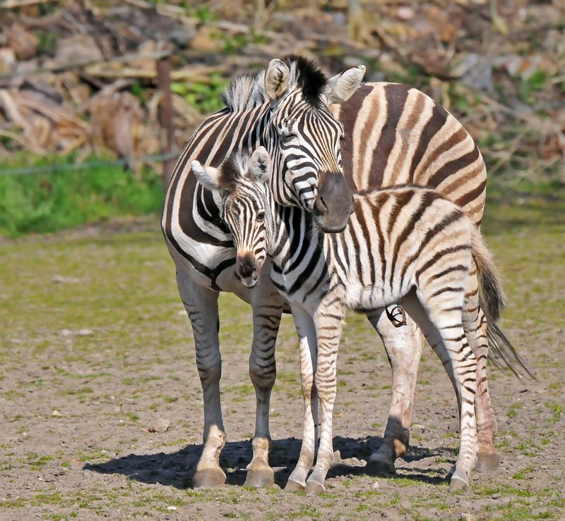 TD Zebra foal_4