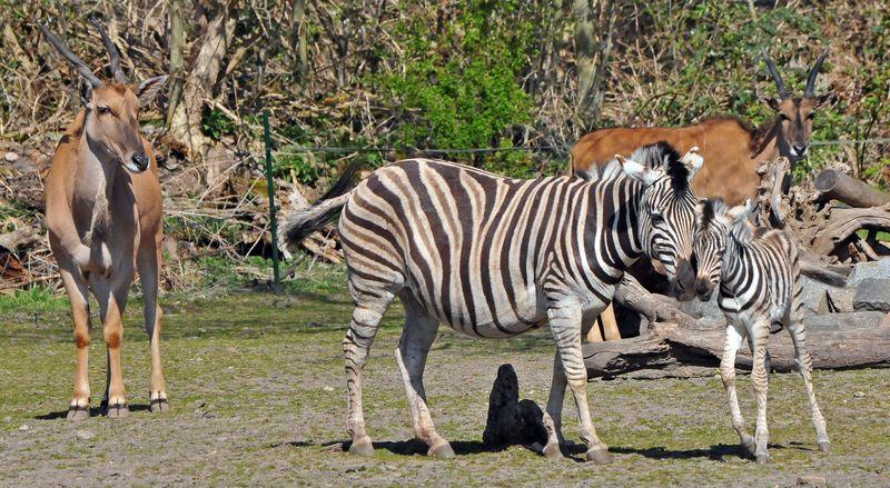 TD Zebra foal_6