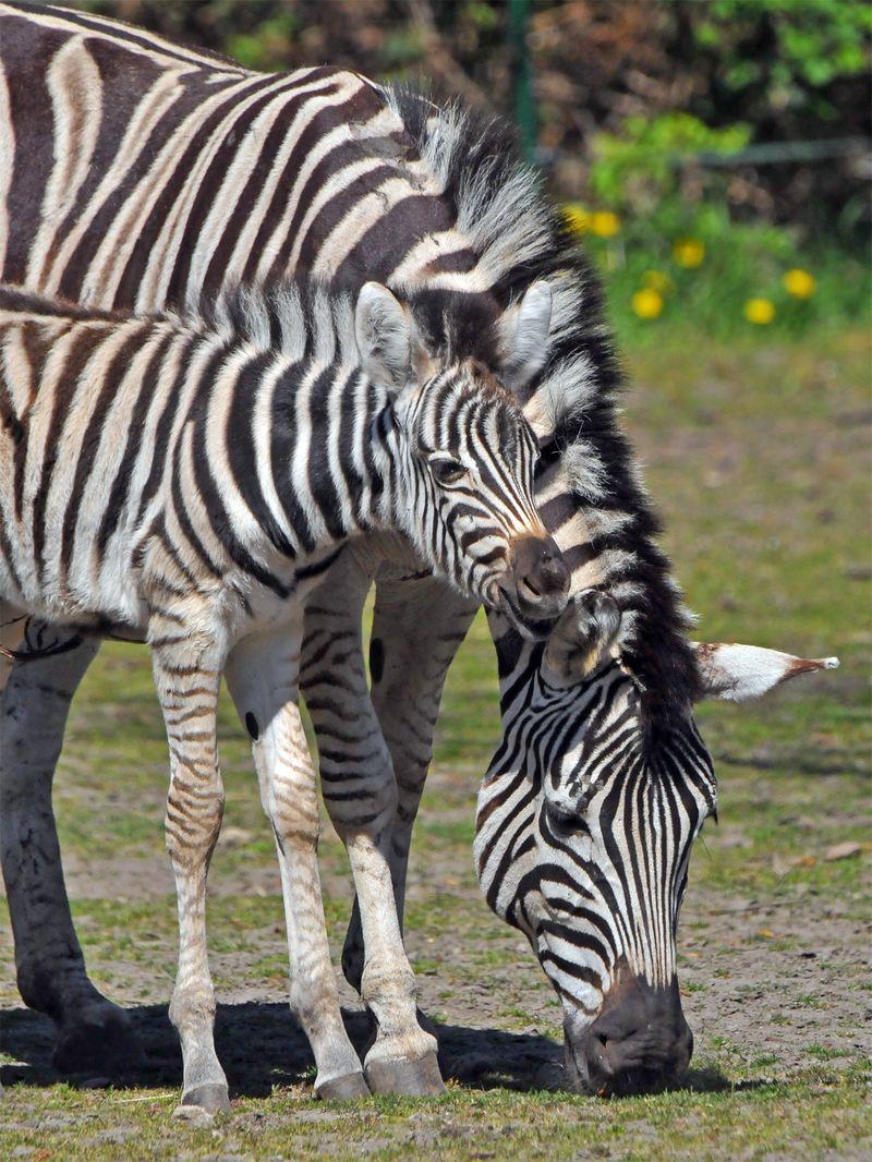 TD Zebra foal_8