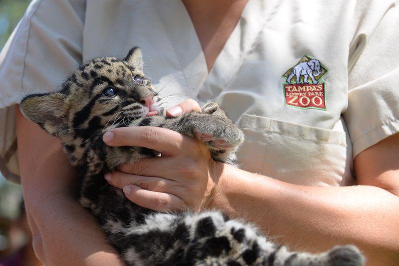7_asia clouded leopard mowgli 1 may 7 2015
