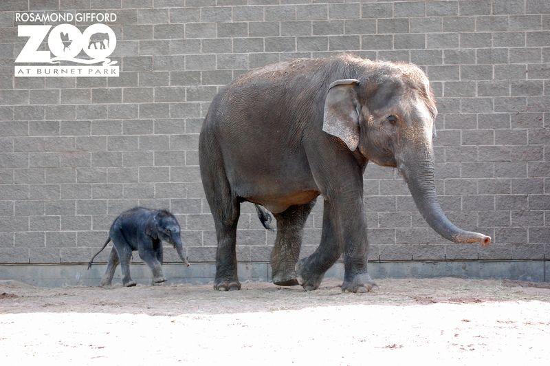 baby elephant is third generation at rosamond gifford zoo zooborns