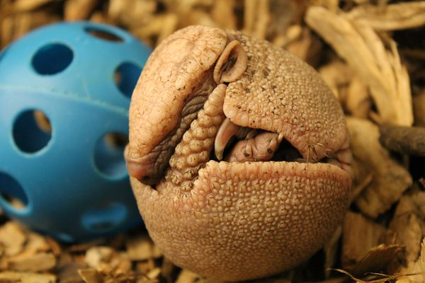 """Topeka Zoo """"Gets 'Round"""" to Announcing Armadillo Birth"""