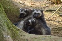 Rare Wolverine Triplets at Cotswold Wildlife Park
