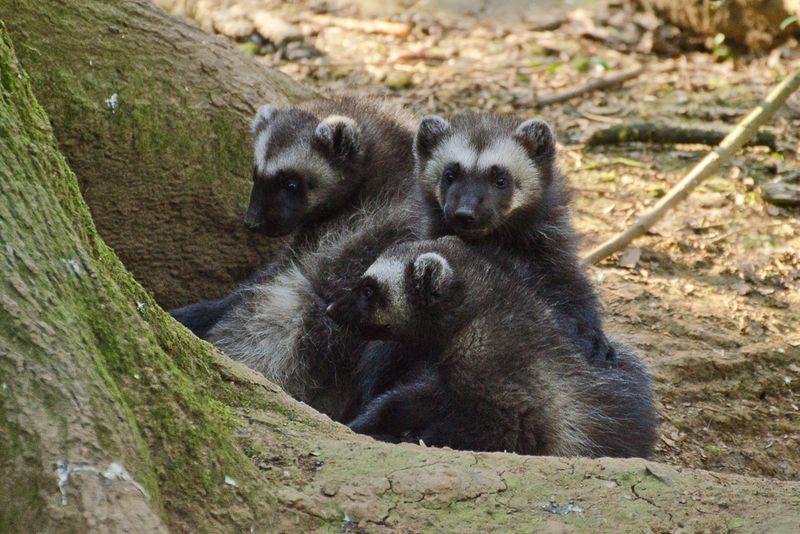 1_Wolverine triplets NI
