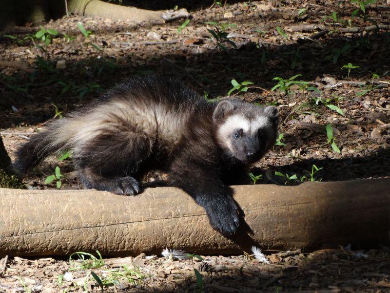 7_Wolverine cub ontop on log