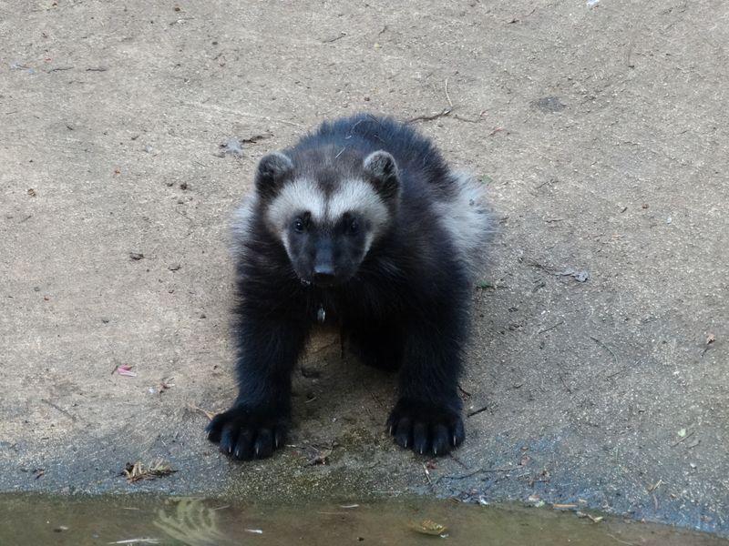 9_Wolverine cub drinking