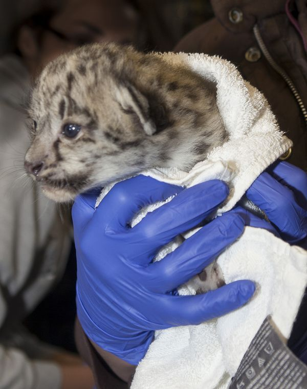 First Photos of Snow Leopard Cubs at Assiniboine Park Zoo