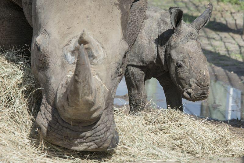 Africa white rhino Alake and calf 2 may 27 2015