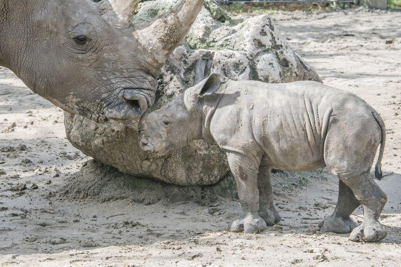 Africa white rhino calf meets kidogo may 27 2015