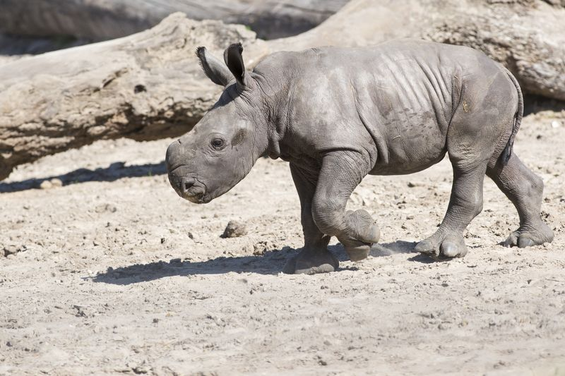 Africa white rhino calf 1 may 30 2015