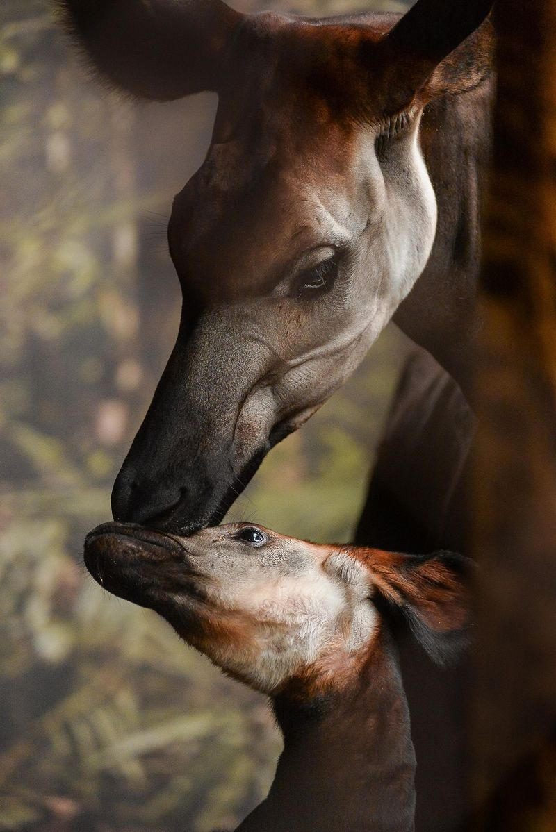 1_New okapi calf Usala with mum Stuma (3)
