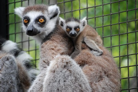 King Julien Announces Birth of Royal Twins - ZooBorns