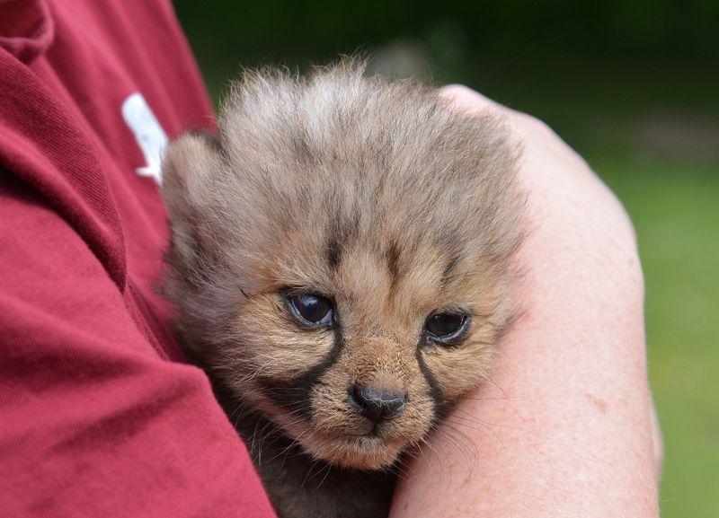 5_Gepard auf Arm Carin Fels_presse