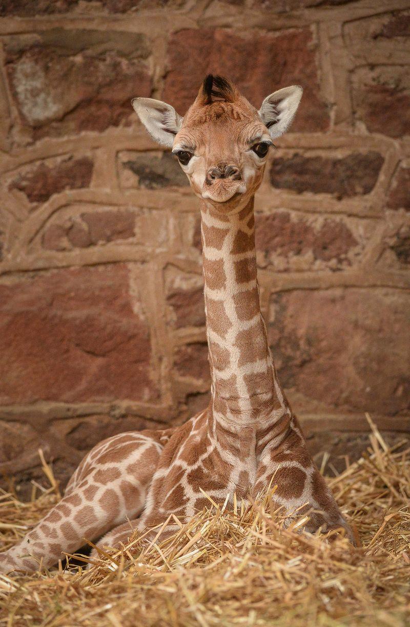 Giraffe1-4