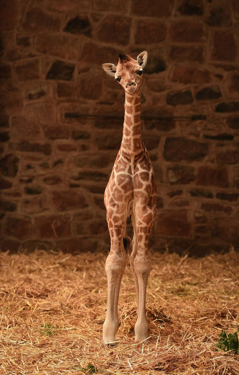 Giraffe2-1