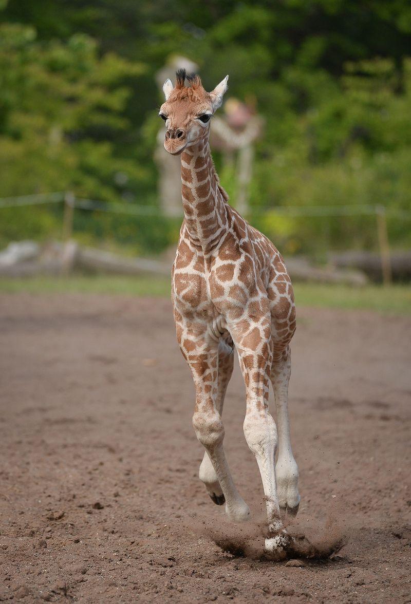 GiraffePaddock-35