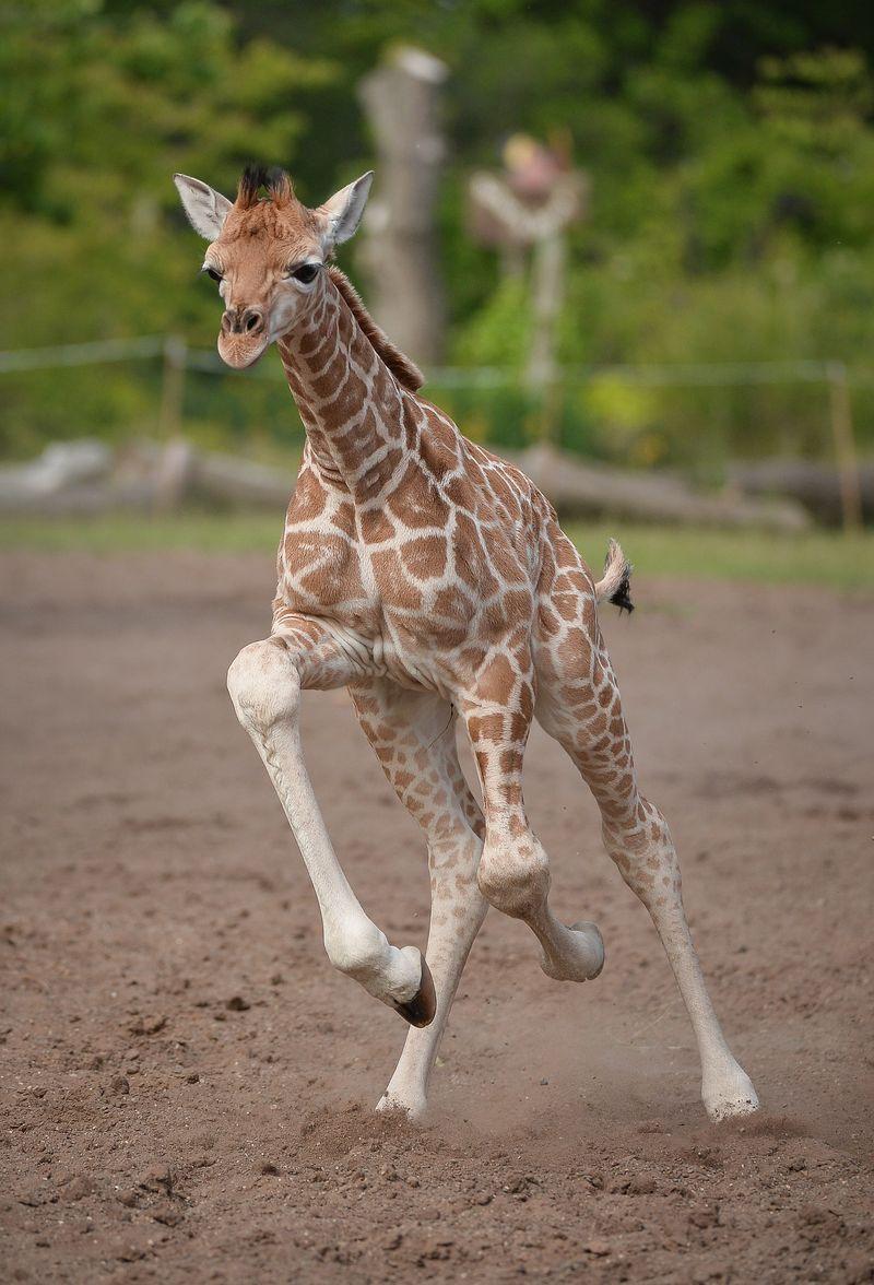 GiraffePaddock-36