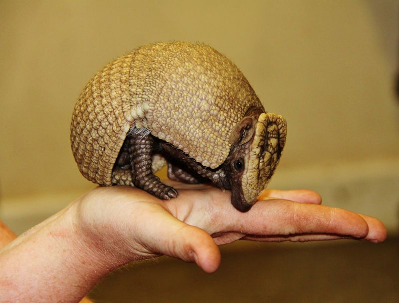 1_Baby three banded armadillo on hand at Longleat PIC Ian Turner (1200x913)