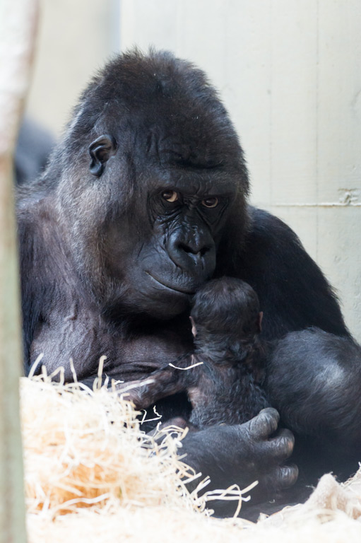 1_gorilla_joas_mit_jungtier_1_tag_ZO26694