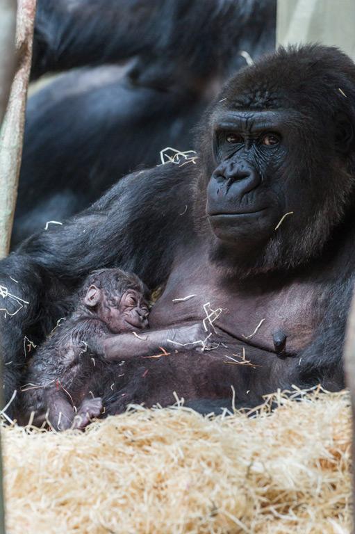3_gorilla_joas_direkt_nach_geburt_ZO26273