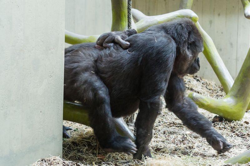 4_gorilla_joas_direkt_nach_geburt_ZO26631