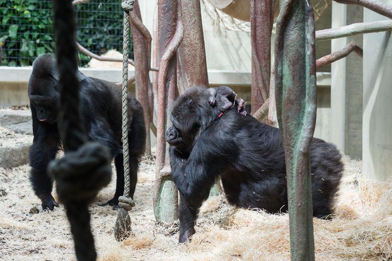 5_gorilla_joas_direkt_nach_geburt_ZO26590