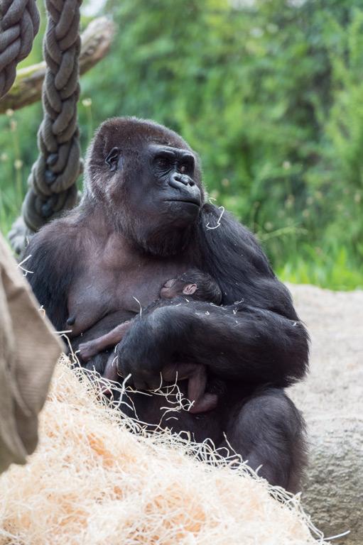 6_gorilla_joas_mit_jungtier_draussen_TOR9636