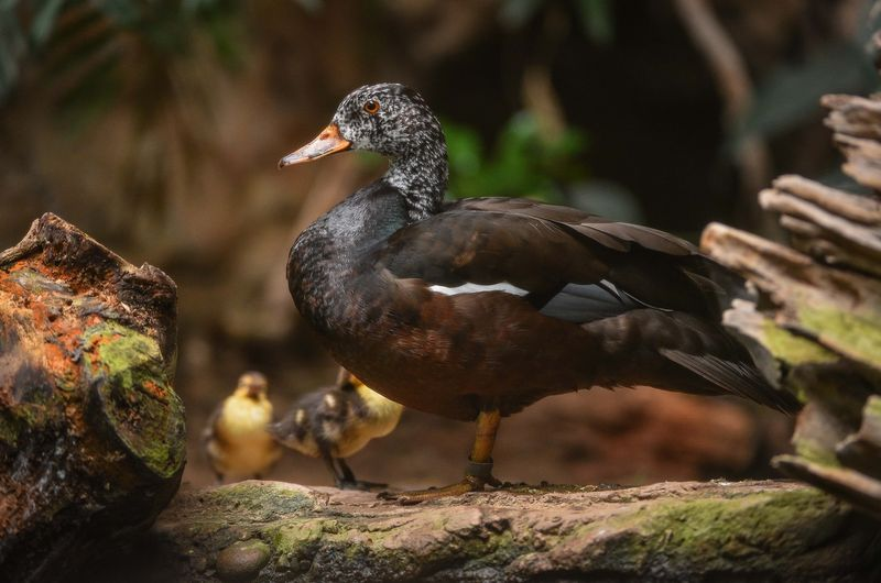 White Winged Ducklings-17