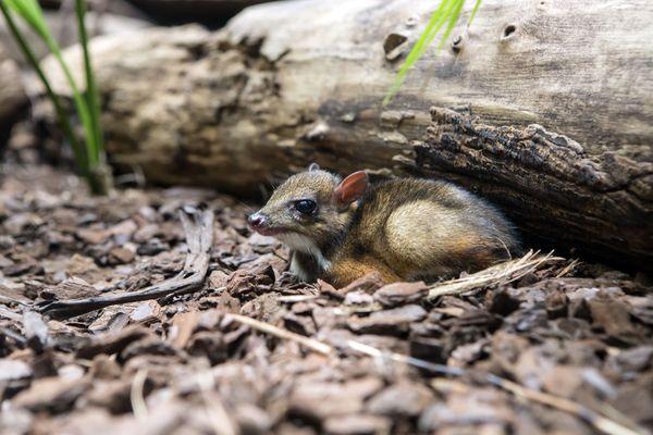 Ungulate Zoo Tiny Java Mouse Deer D...