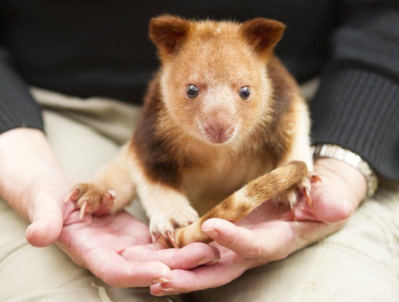 1_Adelaide Zoo Tree Kangaroo April 2015