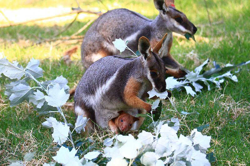 9_Adelaide Zoo Tree Kangaroo Febuary 2015-3
