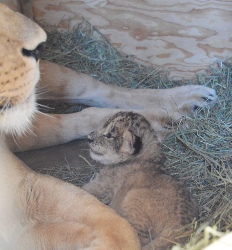2 lion