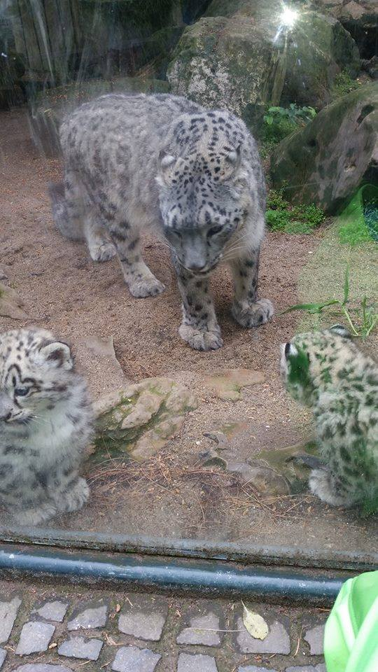 Snow Leopard Cubs 'Spotted' at Zoo Krefeld