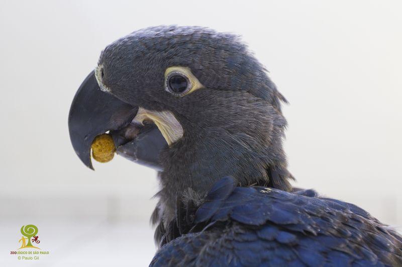 Filhote de arara-azul-de-lear_Foto Paulo Gil - ZooSP 7