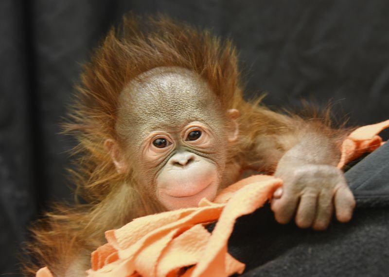 3_Keju_infant Bornean orangutan_2015_Photo credit Henry Vilas Zoo